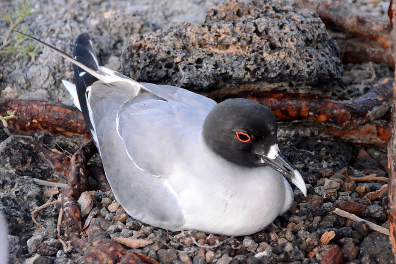 Swallow-tailed gull is a near-endemic breeding bird of the Galapagos. It is the only fully nocturnal gull and seabird in the world.