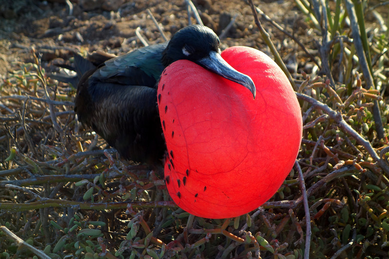 The male frigatebird has a heart-shaped red pouch that he inflates as a way to attract females flying overhead in search of the perfect mate. As you might suspect, the redder the pouch, the more attractive the male is to the female, thus ensuring the red trait gets passed on to future generations.