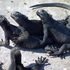 Marine iguanas soaking up the sun