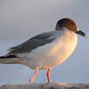 Swallow-tailed gull with missing foot