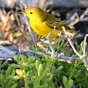 Warbler in the Galapagos