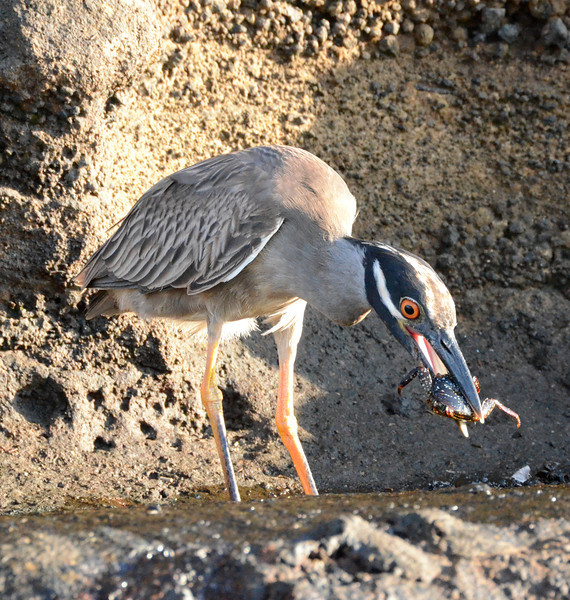 Yellow-crowned night heron catching breakfast in the Galapagos