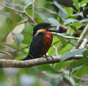 Kingfishers and Puffbirds