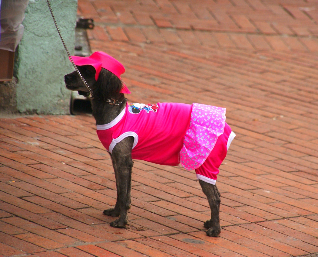 Dog Dressed Up in a pink dress in Quito, Ecuador