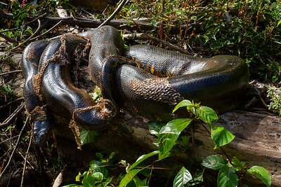 Anaconda molting skin