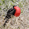 Magnificent Frigatebird male displaying, North Seymour Is., Galapagos