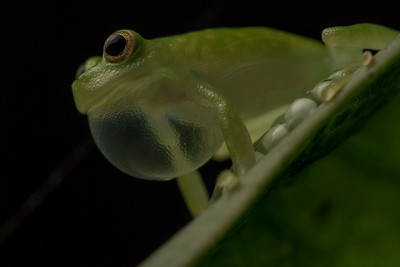 A glassfrog (Hyalinobatrachium pellucidum) guards his eggs.  Parental care is found in about 10% of frogs, and few are as devoted as species in this genus.  The male remains with the eggs until they hatch guarding them from predators and parasites as well as keeping them hydrated.  Although he won't leave the eggs, he continues to call in hopes of attracting another female frog.