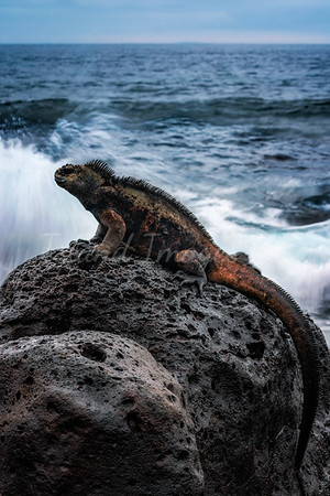 Longexpo Marine Iguana