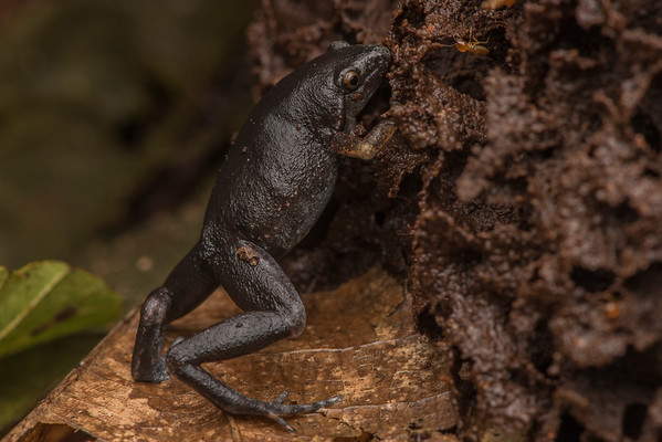 A dotted humming frog (Chiasmocleis ventrimaculata) props itself up against a termite nest in order to reach termites that were working on the nest higher up and would have been out of reach if it remained sitting.