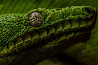 The  Amazon Basin emerald tree boa (Corallus batesii), a close up of its face showing off the  thermoreceptive heat sensing pits along its face which helps it sense its warm blooded prey.