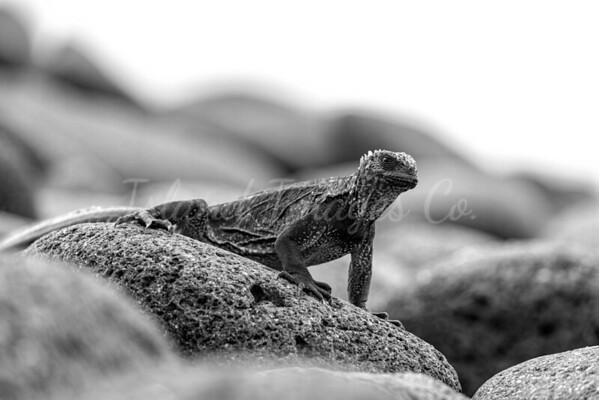 Baby Marine Iguana bnw