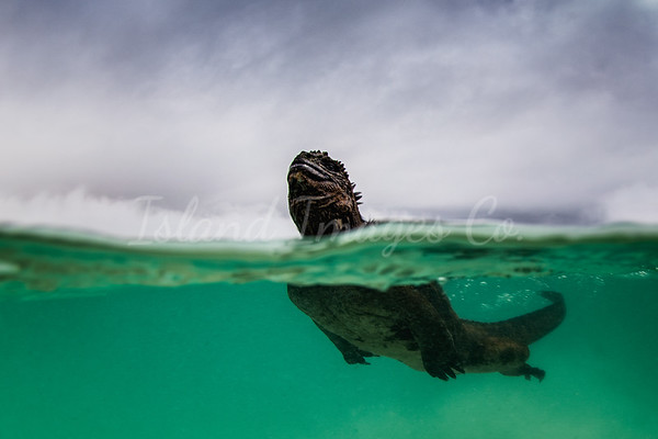 Over Under Marine Iguana