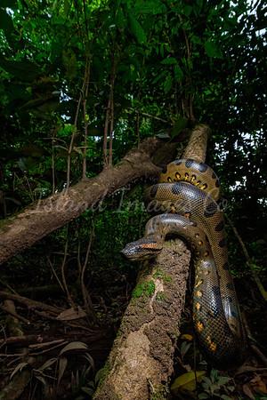 Anaconda hanging around