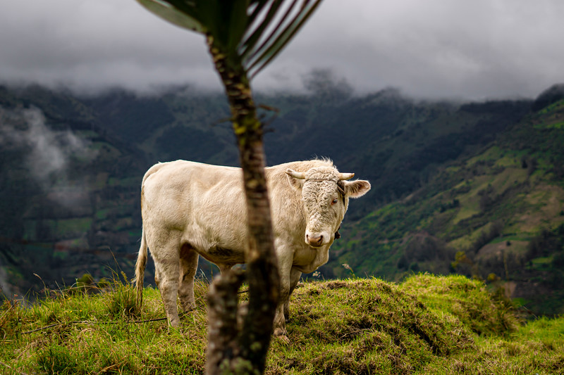 A cow along the road to Quilotoa.