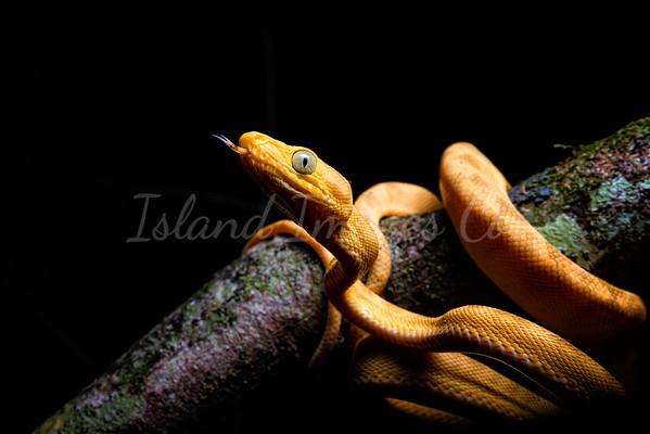 Yelllow Morph Amazon Boa snake