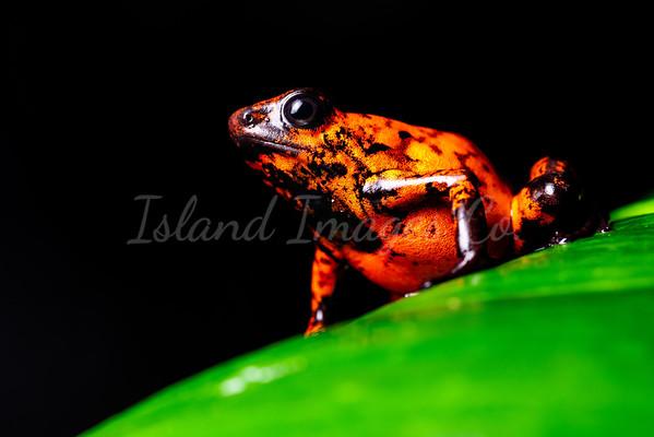 Red Devil Frog macro