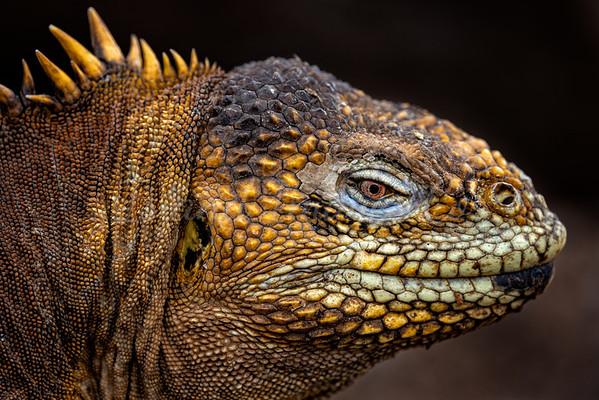 Land Iguana macro
