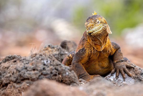 Yellow Land Iguana 2