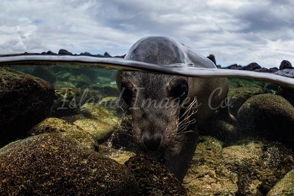 Over Under Sea lion