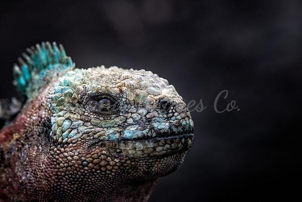 Marine Iguana Macro