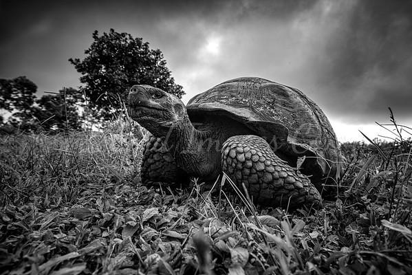 Giant Galapagos Tortoise BNW
