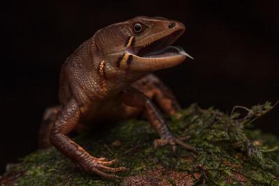 Gelanesaurus cochranae, a semi aquatic lizard formerly included in the Potamites genus.