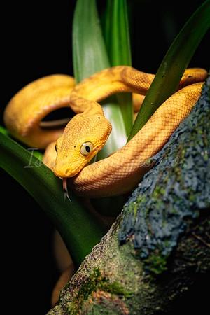 Yellow Morph Amazon Tree Boa
