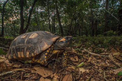 A yellow-footed tortoise (Chelonoidis denticulatus) on the forest floor in a clearing in Yasuni National Park.