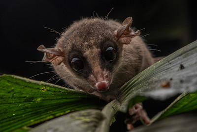A mouse opossum (Marmosa sp) from the Amazon jungle, these small marsupials come out at night and scurry across vegetation hunting for prey.