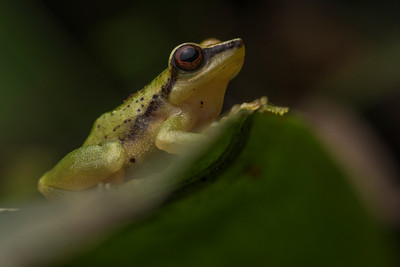 Pristimantis acuminatus, a species of rainfrog.  The Pristimantis genus is the most speciose of all vertebrate genera and new species are constantly being described.