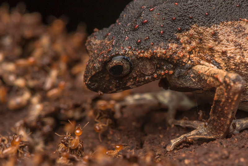 A peters dwarf frog (Engystomops petersi) sits on top of a termite nest and eats its fill of termites which were busy repairing the nest.