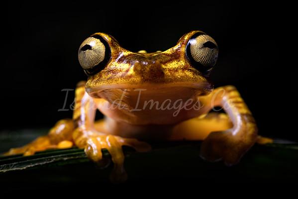 Macro Neoselva frog