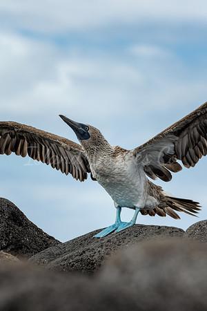 Blue foot flight