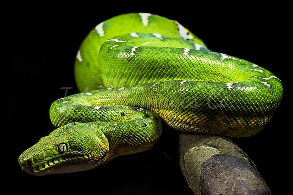 Emerald Green Tree Boa full body