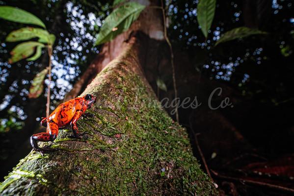 Red Devil Poison Frog 5
