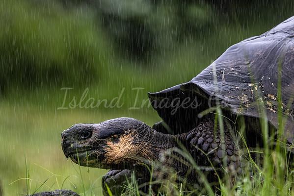 Tortoise in the rain
