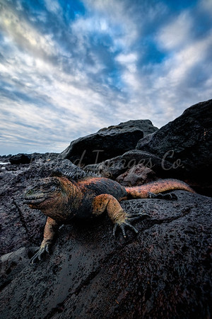 Marine Iguana san cristobal