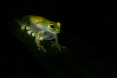 A male glass frog (Hyalinobatrachium pellucidum) guards his eggs on a leaf in the Ecuadorian rainforest.