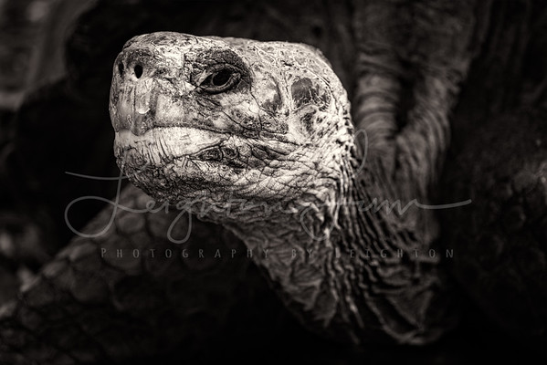 Hooded Galapagos Tortoise BNW