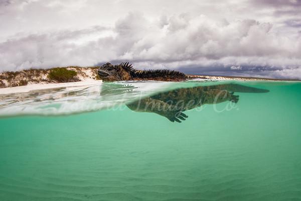 Over Under Marine Iguana 2