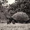 Giant Galapagos Tortoise BNW 2