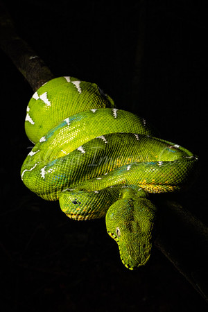 Emerald Green Tree Boa Eye