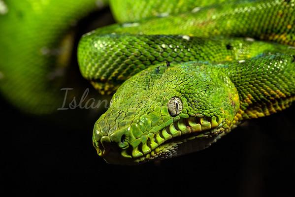 Emerald Green Tree Boa macro copy