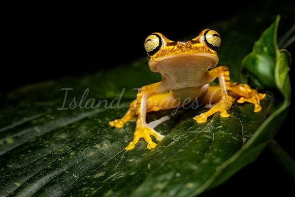 Neoselva Frog macro