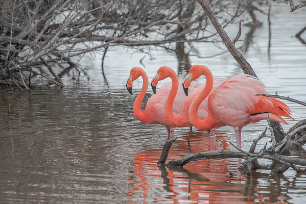 The American flamingo (Phoenicopterus ruber) this is the galapagos subspecies (P. r. glyphorhynchus) which differs by being marginally smaller.  On some of the islands in the galapagos it is possible to see them wading through the marshes sifting food from the water.