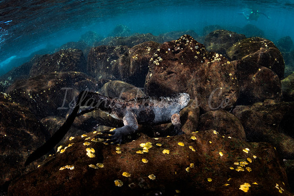 Marine Iguana feeding underwater 2