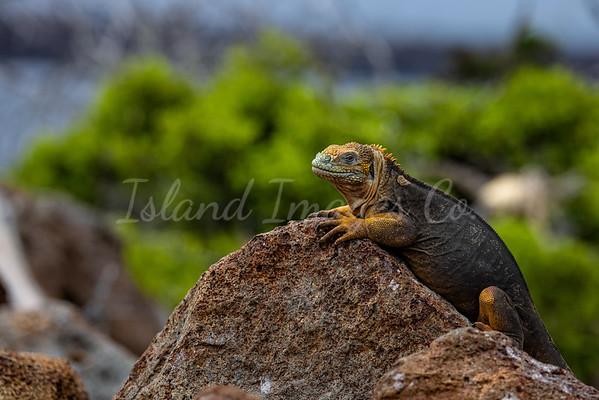 Land Iguana copy