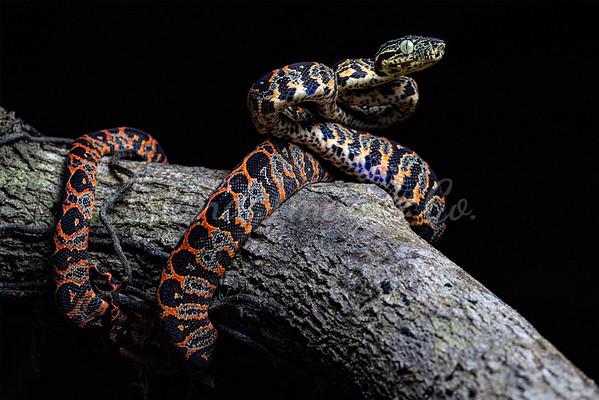 Juvi Amazon Boa morph 2