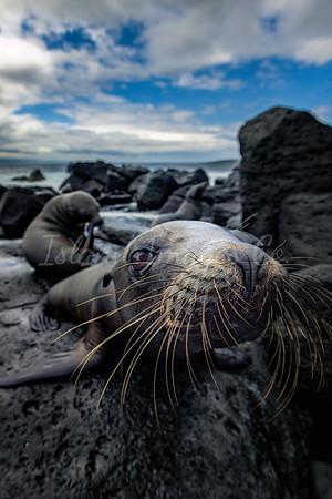 Galapagos Sealion pup