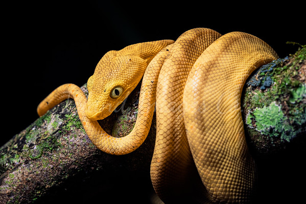 Yellow Morph Boa curled up